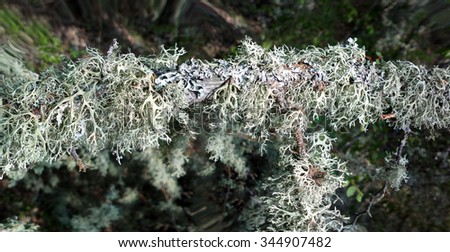 mountain forest zone with  lichens on  branches - stock photo