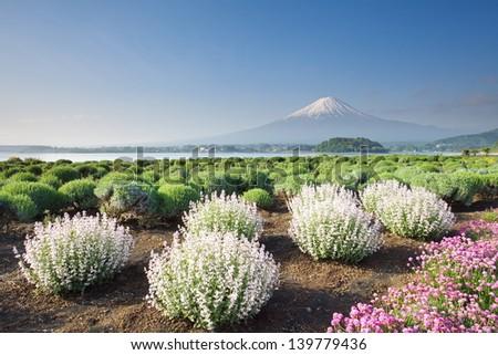 Mountain Fuji in spring - stock photo