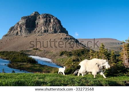 Mountain goat and kid. Glacier National Park. Montana - stock photo