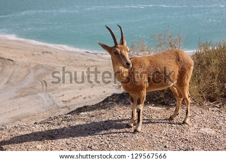 mountain-goat at Ein Gedi area, Dead Sea