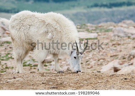 Mountain goat at Mt. Evans in Colorado. - stock photo