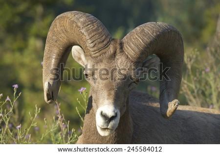 Mountain goat head detail. Alberta. Canada. Horizontal - stock photo