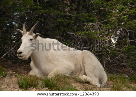 Mountain goat in Glacier National Park - stock photo
