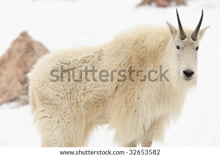 mountain goat in the snow looking at camera - stock photo