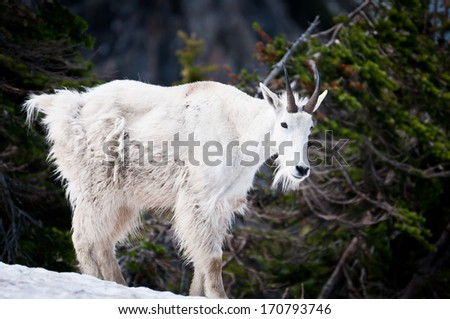 Mountain goat on the snow in forested mountains