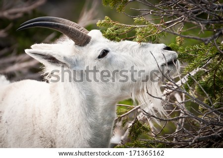 Mountain goat reaching for a pine tree branch - stock photo