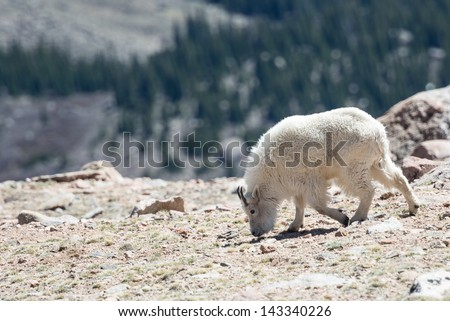 Mountain goat walking in the rocky mountains - stock photo