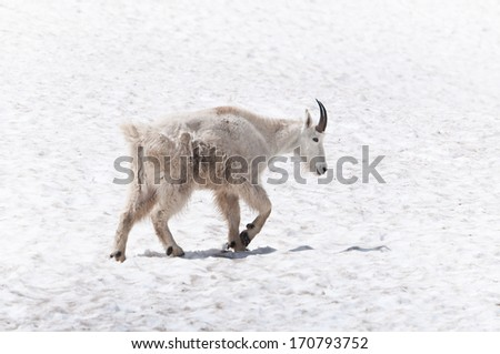 Mountain goat walking on the snow