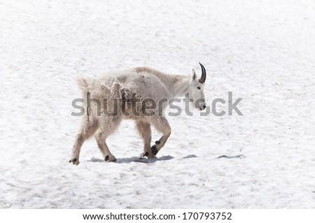 Mountain goat walking on the snow - stock photo