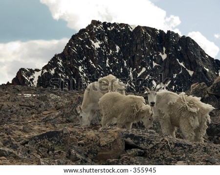 Mountain Goats at the base camp for Granite Peak, MT - stock photo