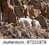mountain goats during fall in Yellowstone park - stock photo