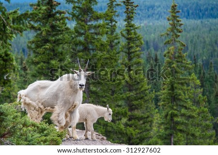 Mountain goats look out over the Athabasca River at the Kerkeslin Goat Lick. - stock photo