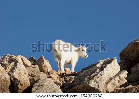 Mountain goats on top of Mount Evans. Colorado. - stock photo
