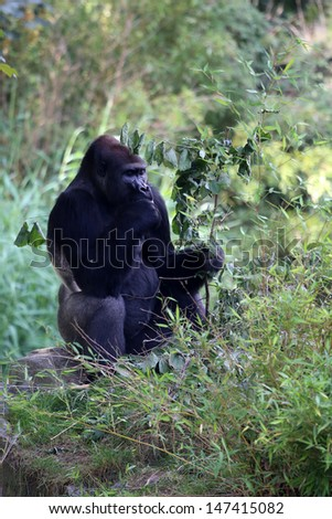 Mountain Gorilla - stock photo
