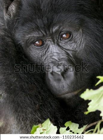 Mountain Gorilla, Bwindi, Uganda - stock photo