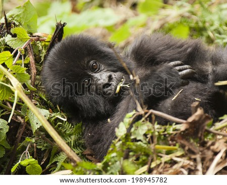Mountain Gorilla, Gorilla beringei beringei,Agashya group, baby, in Rwamikore Crater, Volcanoes National Park, Rwanda, East Africa - stock photo