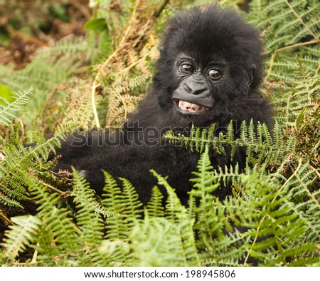 Mountain Gorilla, Gorilla beringei beringei, in its natural habitat in the Rwandan jungle in the Volcanoes National Park, Sabyinyo Group - stock photo