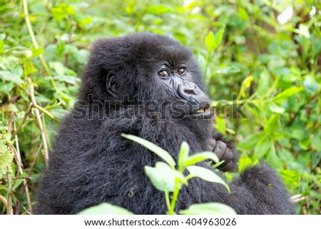 Mountain gorilla in the Volcanoes National Park of Rwanda, Central Africa