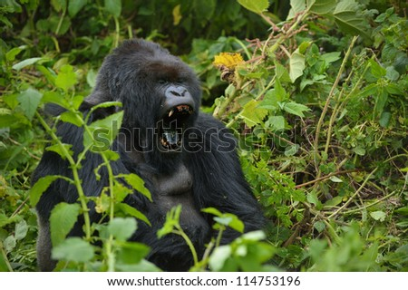 Mountain gorilla is yawning.