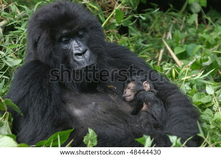 mountain gorilla,mother holding her three day old sun in her arm, virunga mountains, rwanda - stock photo