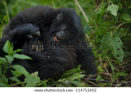 Mountain Gorillas are playing each other.