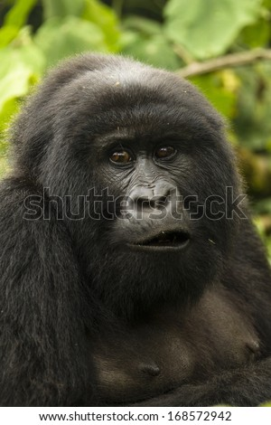 Mountain gorillas,  Gorilla gorilla beringei, ENDANGERED, Kwitonda group, female, Volcanoes National Park, Rwanda - stock photo