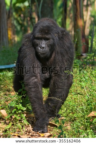 Mountain gorillas in the rainforest. Uganda. Bwindi Impenetrable Forest National Park.