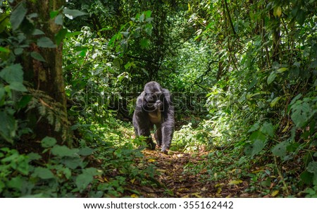 Mountain gorillas in the rainforest. Uganda. Bwindi Impenetrable Forest National Park. An excellent illustration. - stock photo