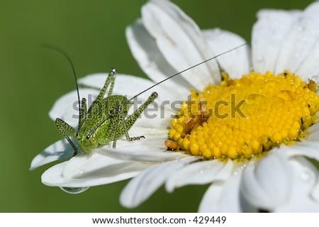 Mountain grasshopper on camomile - stock photo