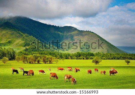 Mountain grassland with grazing cows - stock photo