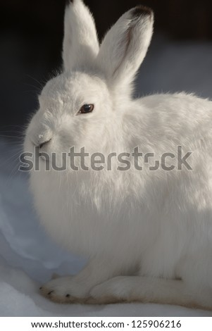 Mountain Hare - (Lepus timidus)