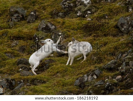 Mountain hares (Lepus timidus) fighting (boxing) in Scotland. - stock photo