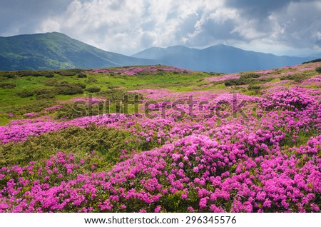 Mountain landscape with a large meadow of pink flowers. Blooming Rhododendron in cloudy weather. Carpathian Mountains, Ukraine - stock photo