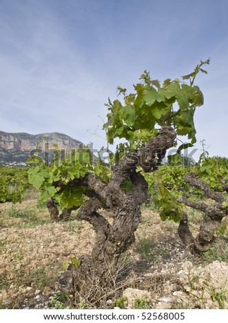 Mountain landscape with the strain of a vineyard in the foreground - stock photo