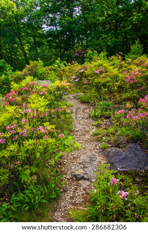 Mountain laurel along a trail in Shenandoah National Park, Virginia. - stock photo