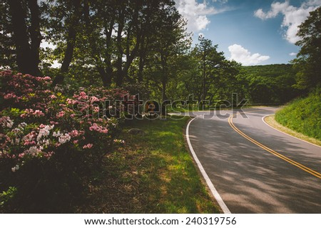 Mountain laurel along Skyline Drive on a spring day in Shenandoah National Park, Virginia. - stock photo