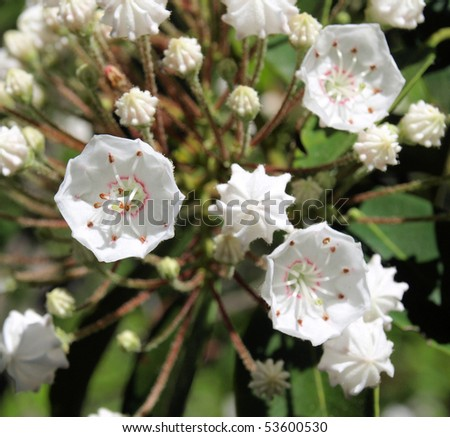 Mountain Laurel plant in full bloom during the spring - stock photo