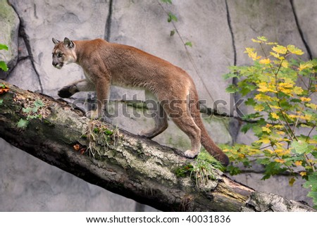 Mountain lion (cougar) - stock photo