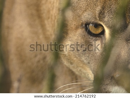 Mountain Lion (Cougar) portrait, with focus on the eye. Captive animal. - stock photo