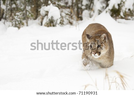 Mountain Lion in deep snow during winter time - stock photo