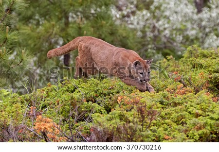 Mountain lion jumping over bush - stock photo