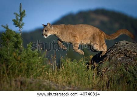 Mountain Lion pouncing - stock photo
