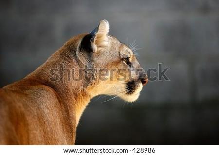 Mountain Lion (Puma Concolor) Head of a captive Mountain Lion - stock photo