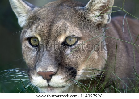 Mountain lion (Puma concolor) laying in the grass stalking its prey. - stock photo