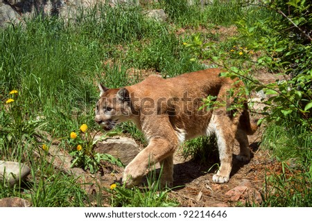 Mountain lion, puma, cougar - stock photo