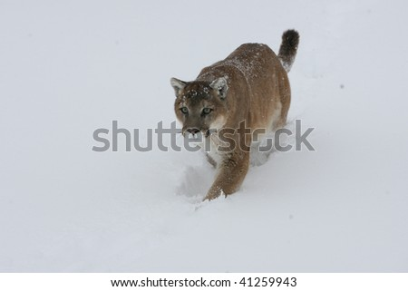 Mountain Lion running in snow - stock photo