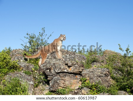 Mountain lion searches for prey amid rocky outcropping. - stock photo
