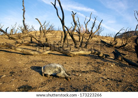 Mountain lion skull lies in the dirt after a southern California wildfire. - stock photo