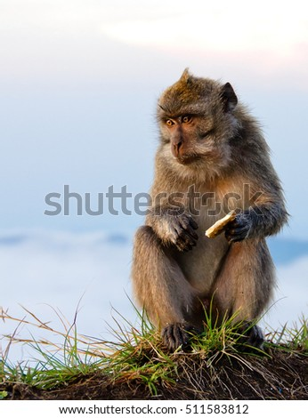 Mountain Monkey sitting and eating biscuit looking curiously