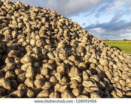 mountain of sugar beets - stock photo